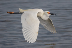 Snowy Egret Inflight (dbadair) Tags: outdoor sky nature wildlife 7dm2 7d ii ef100400mm canon florida bird