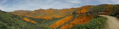 california poppies panorama (h willome) Tags: 2019 california wildflowers superbloom lakeelsinore