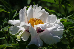 Paeonia rockii (PahaKoz) Tags: весна природа флора цветение цветок пион пионрока древовидный сад spring nature flora blossom bloom blossoming flower paeonia paeoniarockii