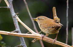Wren (pootlepod) Tags: 7dmkii canon wren sparrow bunting wildlife wild perched perch tree shrubs wings song resting nature raw natural uk southwest devon bill beak striations male female