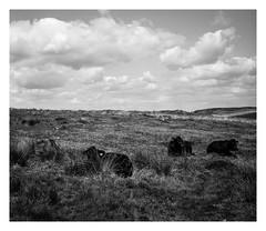 FILM - Curbar cows (fishyfish_arcade) Tags: 6x6 analogphotography curbaredge fp4 filmphotography filmisnotdead foldingcamera istillshootfilm peakdistrict zeissmessikonta52416 analogcamera film ilford mediumformat