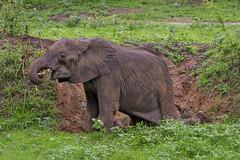 Саванный слон, Loxodonta africana, African Savanna Elephant (Oleg Nomad) Tags: саванныйслон loxodontaafricana africansavannaelephant африка замбия слон сафари луангва zambia africa luangwa safari travel animal