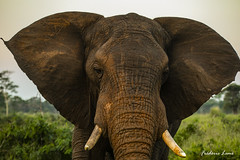 GE0A4290 (fredericleme) Tags: safari safarigame bigfive southafrica africa rsa wild wildlife nature reserve game thanda preservation elephant elephants