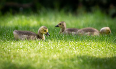 cute and innocent (Danyel B. Photography) Tags: nature natur wildlife bird animal duck child baby sweet cute