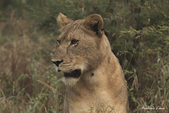 GE0A3761 (fredericleme) Tags: safari safarigame bigfive southafrica africa rsa wild wildlife nature reserve game thanda preservation lion lions