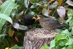 Blackbirds in my garden today (David Verrall) Tags: blackbird