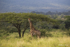 GE0A4072 (fredericleme) Tags: safari safarigame bigfive southafrica africa rsa wild wildlife nature reserve game thanda preservation