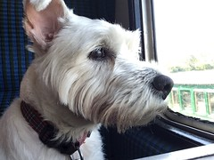 """Enjoying The Ride (37190 """"Dalzell"""") Tags: westhighland terrier dalzell traintravel dieselgala swanagerailway"""
