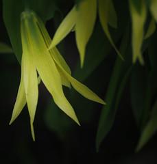 Large-Flowered Bellwort (John Strung) Tags: canada flowers hamilton ontario rbg rockgarden