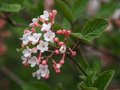 Vibernum (John Strung) Tags: canada flowers hamilton ontario rbg rockgarden