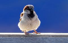20190513-1920-22 (Don Oppedijk) Tags: sparrow mus cffaa