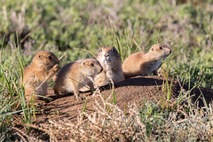 May 18, 2019 - Prairie dog family hanging out. (Tony's Takes)