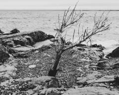 Lakewalk, Duluth 5/18/19 #lakesuperior #tree #rockyshore #b&w #monochrome (Sharon Mollerus) Tags: duluth mn cfptig19