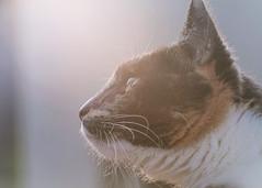 Pet Portrait (https://www.etsy.com/shop/BrazierPhotography) Tags: wisconsin wi portrait cat dog labrador flare eye close fur 135mm samyang f4