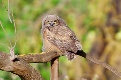 _MCW6845 (MCW Photography 1) Tags: big horned owl family sycamore grove
