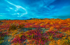 Sony A7R III & FE 16–35 mm G Master Wide-Angle Zoom Lens! Anza Borrego Desert State Park Wild Flower Super Bloom! California Wildflowers Superbloom Fine Art Photography! Elliot McGucken Fine Art Landscape & Nature Photography! Sony A7R3 Epic! (45SURF Hero's Odyssey Mythology Landscapes & Godde) Tags: sony a7r iii fe 16–35 mm g master wideangle zoom lens anza borrego desert state park wild flower super bloom california wildflowers superbloom fine art photography elliot mcgucken landscape nature a7r3 epic high resolution 4k 8k