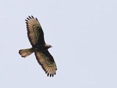 Falco pecchiaiolo (pernis apivorus) (Paolo Bertini) Tags: birdwatching birding uccelli tregnago falco pecchiaiolo honey buzzard pernis apivorus bird nature flight volo raptor rapaci