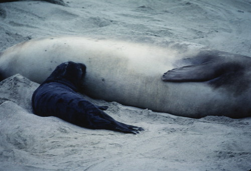 Elephant seal pup nursing from mom on Ano Nuevo beach 1-84
