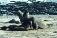 Elephant seals attacking each other on Ano Nuevo beach 2-86 (lamsongf) Tags: marinemammal elephantseal
