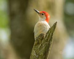 red-bellied woodpecker (crgillette77) Tags: pennsylvania bradfordcounty redbelliedwoodpecker melanerpescarolinus male