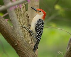 red-bellied woodpecker (crgillette77) Tags: pennsylvania bradfordcounty redbelliedwoodpecker male melanerpescarolinus