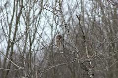 Finding owls is so hard when they blend in so well! Damn! (michaelstafford5) Tags: owl barredowl birding birdsofprey birdphotography wildlife wildlifephotography wildpa pennsylvania all pentaxian pentax k5iis tamronadaptall tamronsp30028 tamron60b winter