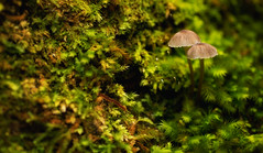 Sleepsong (Emerald Imaging Photography) Tags: macro rainforest mushrooms mushroom moss sydney waterfall newsouthwales australia australian australianlandscape