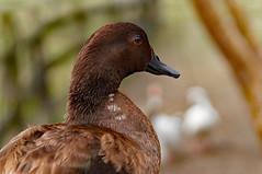Portrait of a Duck (r_callis) Tags: sony mirrorless nexf3 fe90mm wildlife bird waterfowl nature portrait