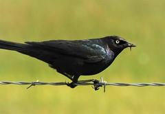Brewer's Blackbird in the Sierra Valley (Ruby 2417) Tags: blackbird mayfly bird wildlife nature sierra valley nevada sierras marsh wetlands spring wire fence