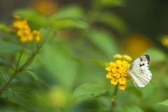 Butterfly (jasoncremephotography) Tags: butterfly flower leica sl leicasl summilux 75mm