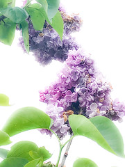 Double Lilac (judy dean) Tags: judydean 2019 garden lilac double flowers inmemory iphone coth5