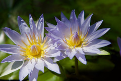 Pair of Beauties! (ineedathis, Everyday I get up, it's a great day!) Tags: lily nymphaea waterlily waterplant watergarden pond tropical beauty exotic νουφαρο νυμφαια spring nature garden nikond750 lavender yellow plant flower