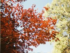 Red leaves, green leaves (Matthew Paul Argall) Tags: revuepocket10 fixedfocus 110 110film subminiaturefilm lomographyfilm 200isofilm plasticlens autumn autumnleaves