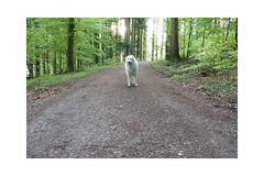 Frisches Grün wohin man schaut. Vielleicht war es ja doch der letzte Schnee. (balu51) Tags: morgenspaziergang wald buchen frischesgrün gegenlicht sonne hund kuvasz ungarischerhirtenhund weiss morning morningwalk backlight sun forest tree green dog white spring mai 2019 copyrightbybalu51