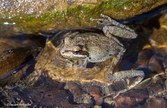 Lounging frog (Photosuze) Tags: frogs bajacaliforniatreefrogs amphibians tiny small nature wildlife animals