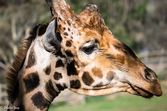 EOS5DIII_201905075362 (Taukeh Yong) Tags: canberranationalzoo giraffe