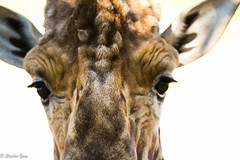 EOS5DIII_201905075349 (Taukeh Yong) Tags: canberranationalzoo giraffe