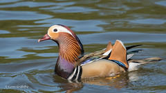 Mandarin Duck - Male 501_9934.jpg (Mobile Lynn) Tags: wildfowl nature birds ducks mandarinduck aixgalericulata anseriformes bird duck fauna wildlife estuaries freshwater lagoons lakes marshes ponds waterfowl webbedfeet egham england unitedkingdom