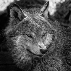 Wolf (amcgdesigns) Tags: andrewmcgavin animalsandbirds animal wolf europeangreywolf eyes highlandwildlifepark blackandwhite monochrome silverefex eos7dmk2 canon100400mm squarecrop square