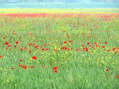 IMG_0046x (gzammarchi) Tags: italia paesaggio natura campagna ravenna lidoadriano fiore papavero grano colza