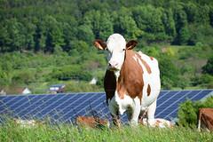 La jolie vache (Croc'odile67) Tags: nikon d3300 sigma contemporary 18200dcoshsmc campagne bovins prairie