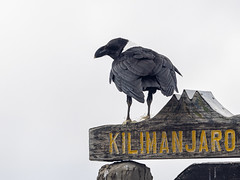 White-necked Raven at 4700m / 15420Ft, Kilimanjaro NP, Tanzania (Amdelsur) Tags: corbeauànuqueblanche tanzanie continentsetpays parcdukilimandjaro afrique africa corvusalbicollis cuervocuelliblanco kilimanjaronationalpark tz tza tanzania whiteneckedraven kilimandjaro