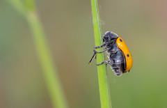 Thinking deeply (lkiraly72) Tags: thinkingdeeply insect orange spotted macro spring