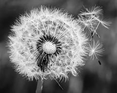 Dandelion Seed Head (JanMurphy30) Tags: weed dandelionseedhead dandelion seedhead