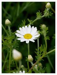 wildflowers-1150651c-180519_DxO (Peadingle) Tags: apex park highbridge somerset wild flower meadow close up