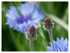wildflowers-1150592-180519_DxO (Peadingle) Tags: apex park highbridge somerset wild flower meadow close up