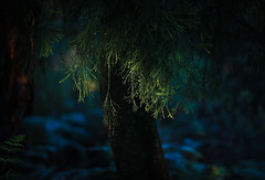 Cherry Ballart (Skye Auer) Tags: cherryballart exocarposcupressiformis tree forest bush parasite australia eastgippsland victoria cherry native