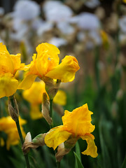 Gelbe Irise im Elterngarten_ (Vladislav Ihl) Tags: blume europa garten krim motive natur orte pflanze pflanzen uglovoje ukraine