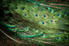 Påfågel / Peacock (mikper) Tags: påfågel peacock stockholm stockholmslän sverige