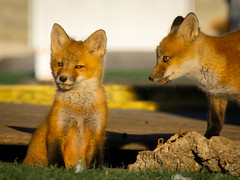I Know What You're Doing (aT0Mx) Tags: baby fox kit pup orange spring morning play brighton ontario canada vulpes pentax pentaxart pentaxlens pentaxphotography nature naturephotography